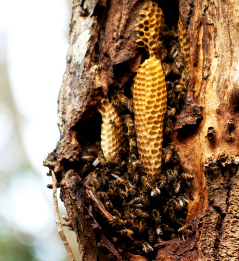 Бортнический мед самый полезный, но его сложно достать – дикая пчела не привыкла к человеку