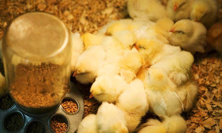 Кормушки для цыплят, как и для любых малышей, должны быть безопасными и удобными