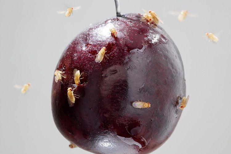 Дрозофилы откладывают яйца на фруктах