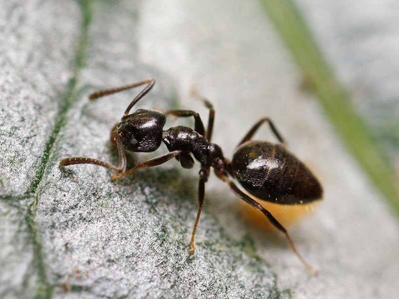 Как избавиться от муравьев в квартире за считанные дни?