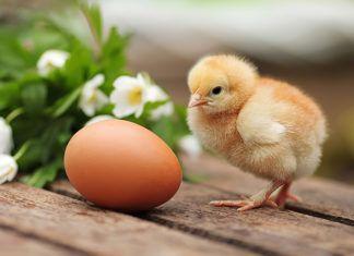 Идеальный родильный дом для цыплят, или Как сделать инкубатор своими руками в домашних условиях
