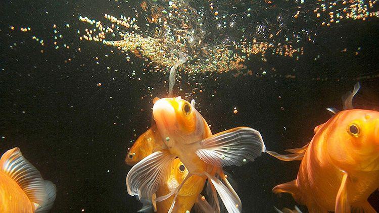 Помните: кормить рыбок нужно регулярно. Причём, корм надо насыпать в таком количестве, чтобы рыбы съедали его сразу. Иначе пища будет оседать на дно и загрязнять воду
