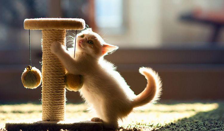 Вот поэтому котёнок точит коготки не о палас на полу, а на уровне своей мордочки: это инстинкт собственника его территории, являющейся по совместительству вашей квартирой
