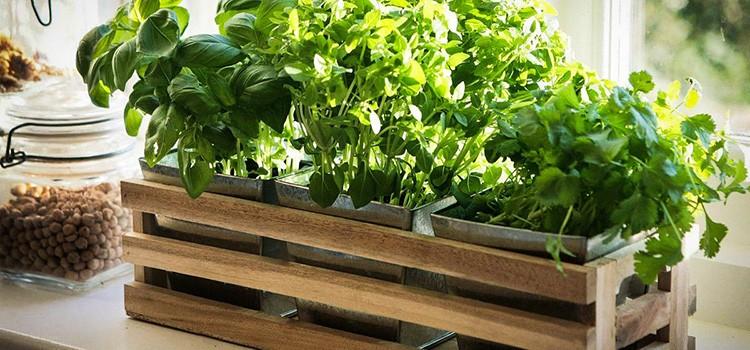 Грядка на подоконнике порадует вас урожаем, если правильно организовать уход и полив растений