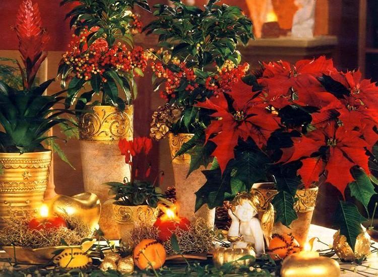Если у вас не растёт пуансеттия — это серьёзное упущение: цветущее под конец декабря растение несёт в себе дух Рождества и Нового года.