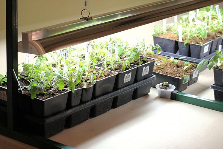 Лампы можно установить прямо над растениями, чтобы им не пришлось тянуться в какую-то одну сторону
