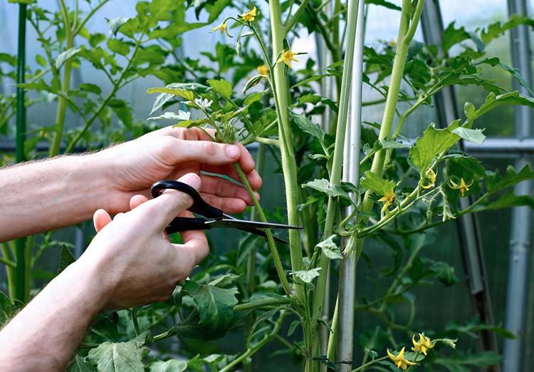 Своевременное удаление пасынков повысит урожайность томатов