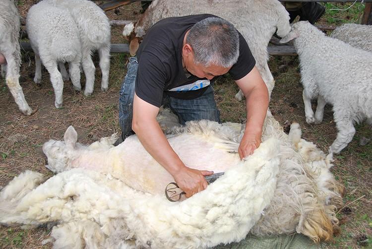 Овечью шерсть активно используют для утепления жители Новой Зеландии, благо сырья у них для этого более чем хватает