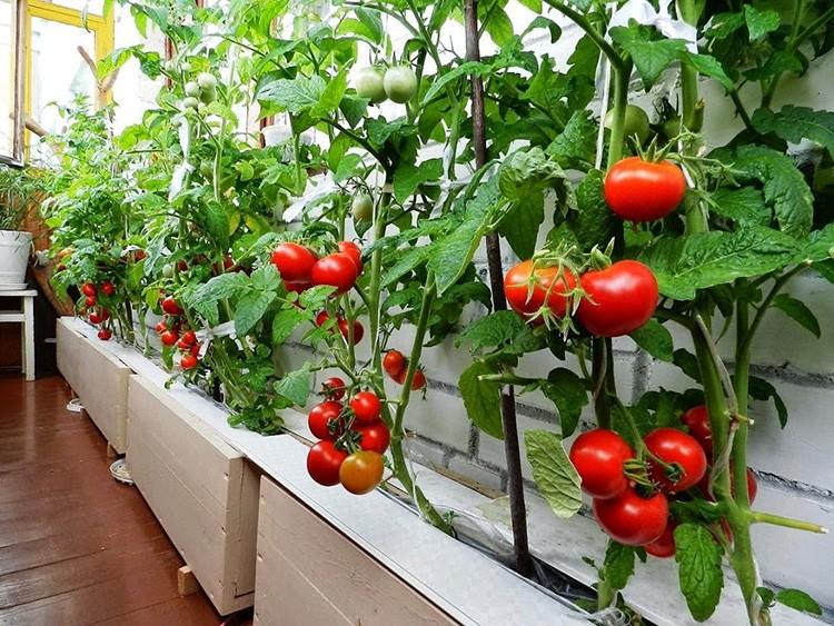 Нужно регулярно осматривать растения на предмет порчи листьев и своевременно реагировать на тревожные признаки: пятна, пожелтение или странные новообразования