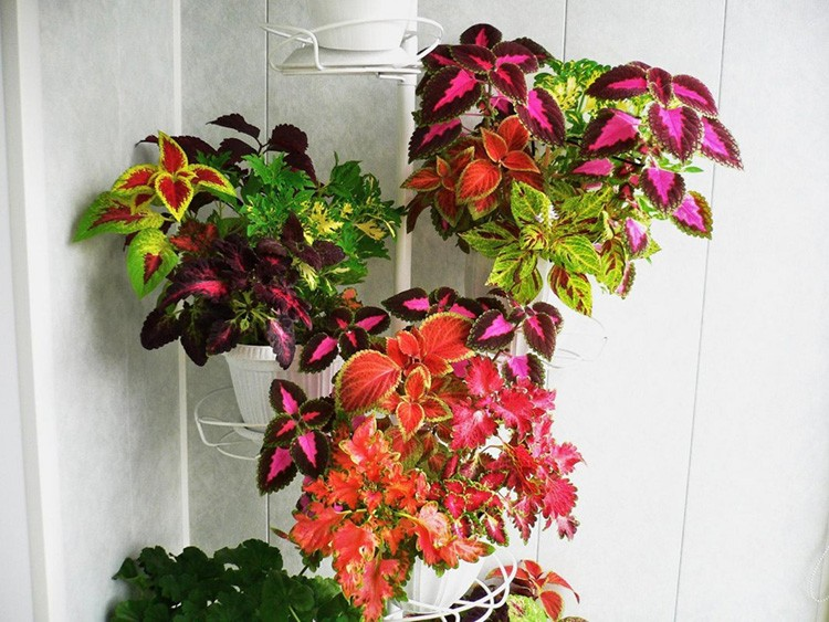Богатый на разновидности колеус способен летом переехать на дачу в грунт. Дома он поражает яркостью листвы и совсем невзрачными цветочками.