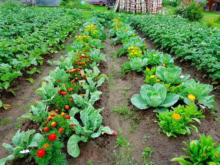 Цветы с резким ароматом, высаженные среди овощей, защитят от насекомых вредителей