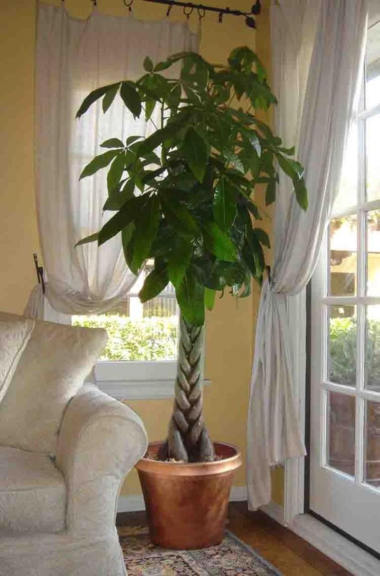 Пахира растёт очень медленно, но, если ухаживать за ней правильно, она достигнет 3 метров в высоту. У пахиры водной, выращиваемой в комнатных условиях, могут появиться съедобные плоды.