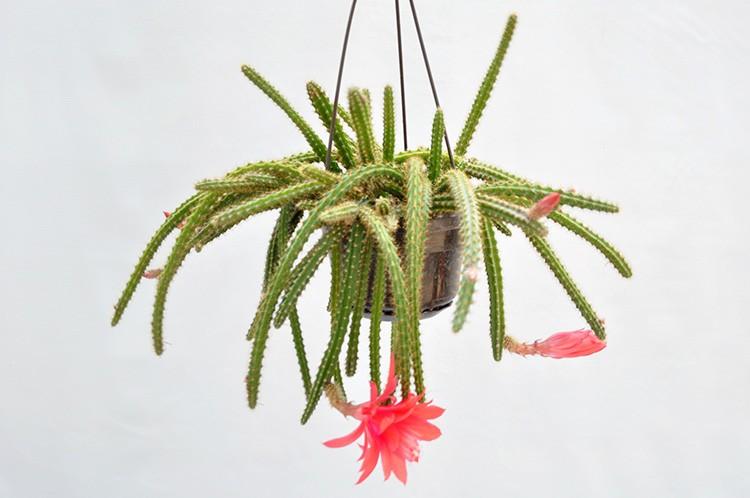 Апорокактус плетевидный радует быстрым ростом длинных стеблей толщиной в 1 см. Цветение обильное и продолжительное.
