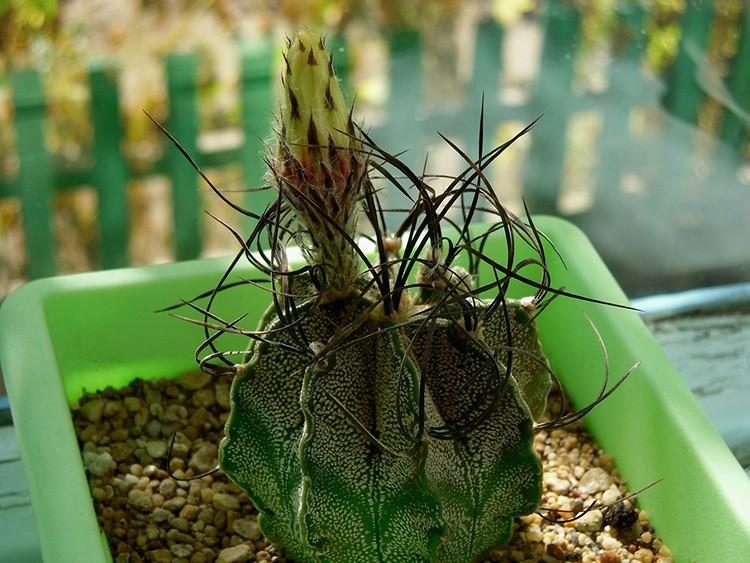 Астрофитум козерогий в детском возрасте похож на шар. Постепенно он израстётся в цилиндр с жёлтыми цветками-ромашками.