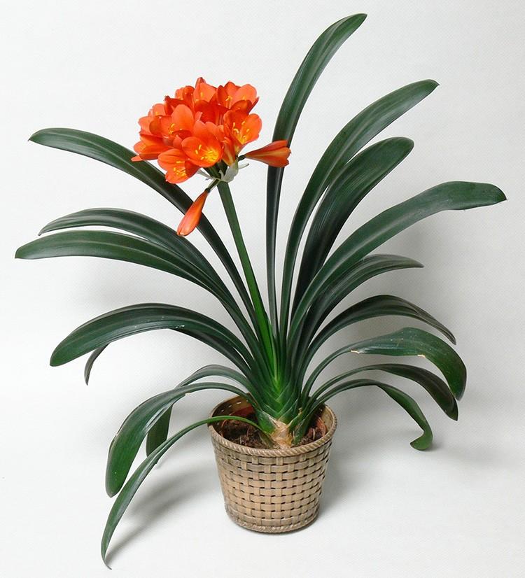Красавица-кливия хороша и эстетична вне цветения. Растение не требует особенного ухода и внимания.