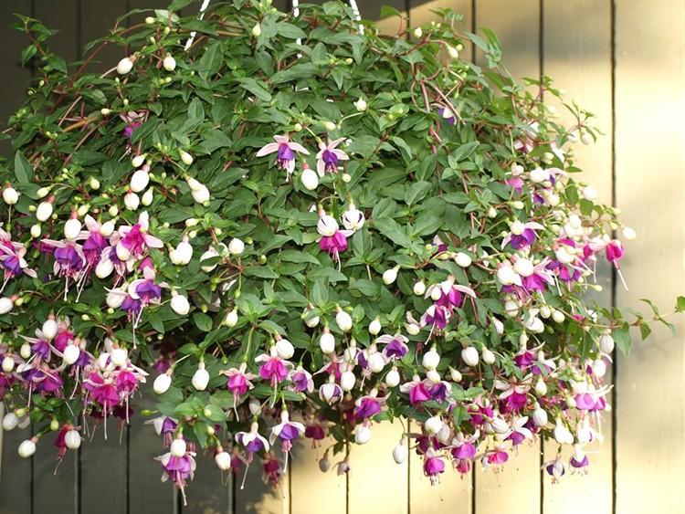 Ампельными могут быть и цветущие растения вроде фуксии.
