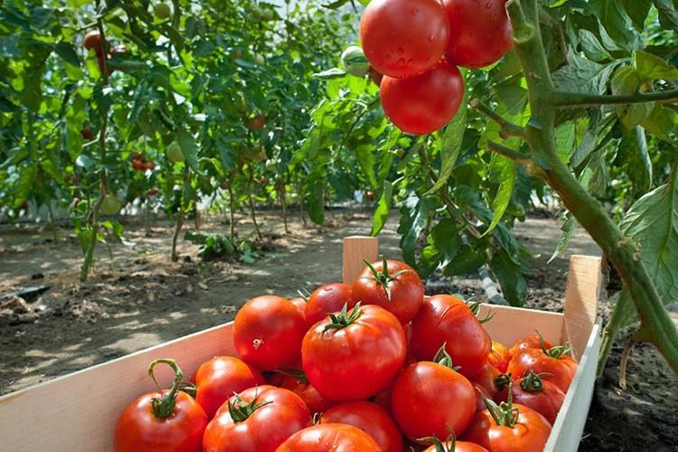 Используйте содовый раствор для полива, если хотите такой урожай томатов