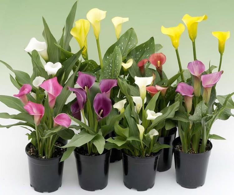 Представители семейства ароидных представлены всего 6-ю видами. Красота каждого сорта зависит от того вида, который был его родоначальником. Красивы не только соцветия, но и листья-сердечки.