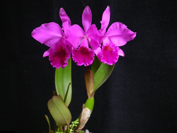 Эффектная каттлея кажется покрытой воском. На лепестке находится, словно гофрированная красочная губа. Каттлею можно назвать гигантом среди орхидей.