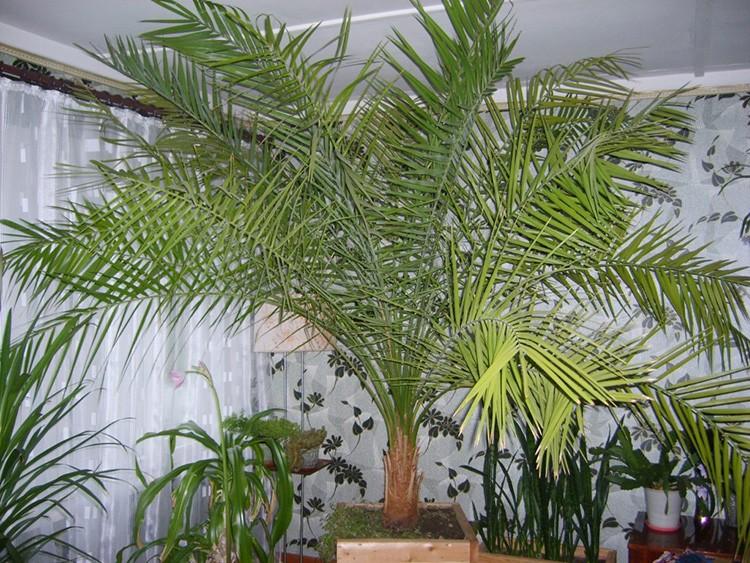Красивая раскидистая неанта достигает 120 см в высоту, но растёт совсем не быстро.