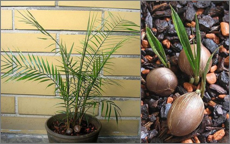 Кокос Ведделя сделает интерьер куда элегантнее. Следует учитывать, что хоть пальма и растёт медленно, но высота её в конечном итоге может достигнуть 2 м.