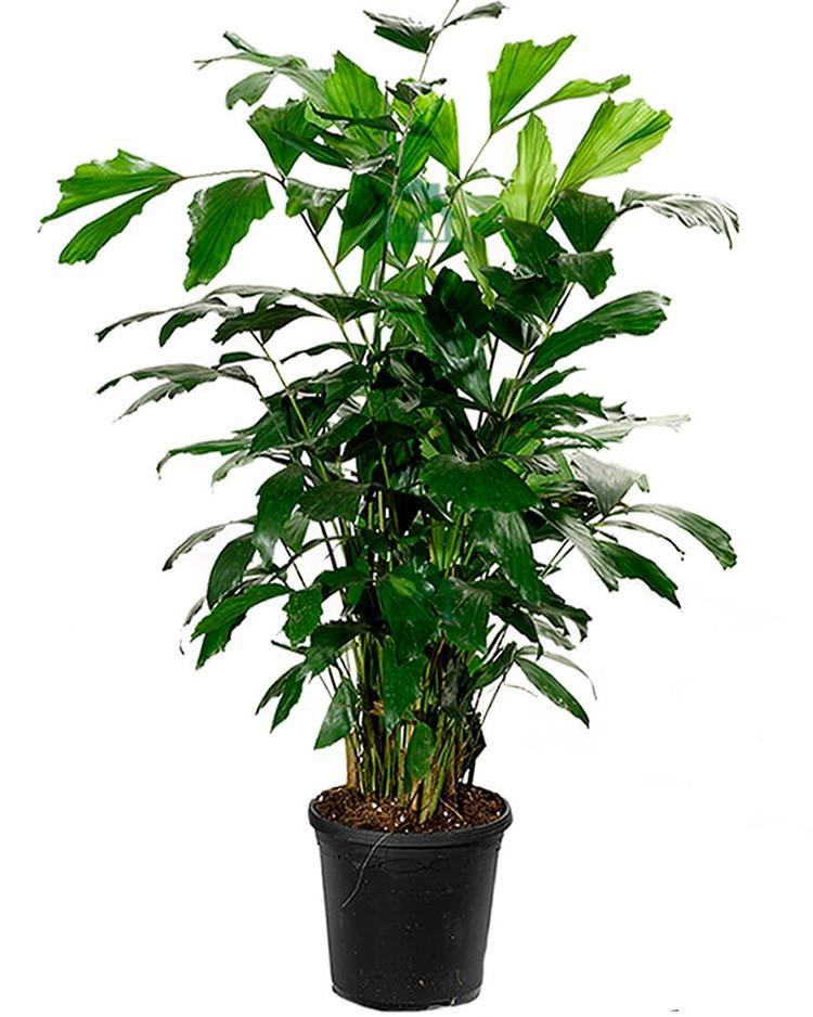 Прекрасная кариота поражает раскидистостью и оригинальностью кроны. При этом вырастить пальму совсем нетрудно.