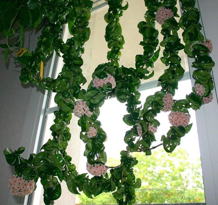 Восковые листья хойи и облачка-цветы понравятся тем людям, которые не особенно хотят заморачиваться на уходе.