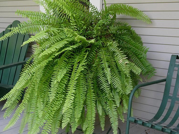 Нефролепсис — привычный всем домашний папоротник с ажурными длинными листьями.