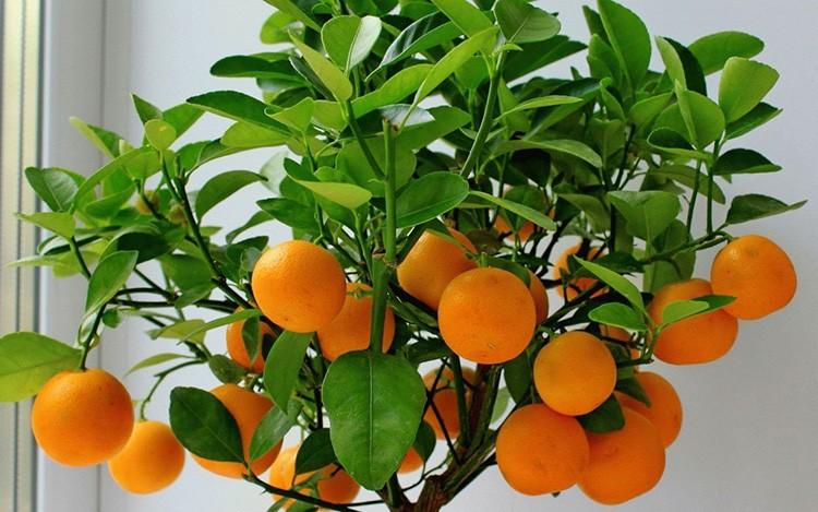 Мандарины выращивать интересно, при соблюдении всех требований есть большая вероятность попробовать плоды.