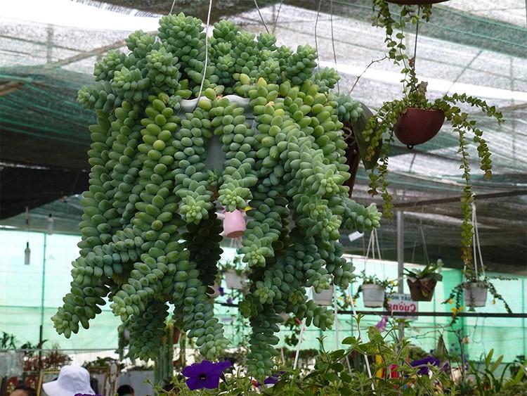 Очиток Моргана можно добавить к списку ампельных растений – настолько декоративны его свисающие плети с крохотными зелёными «бананами».