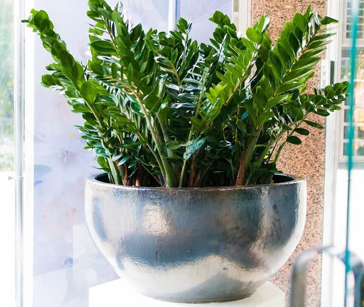 Королевский замиокулькас растёт медленно, не любит излишней влаги и яркого света.