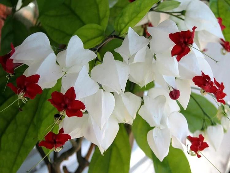 Клеродендрум очень разрастается, а его бело-красные цветочки настолько густо обсыпают ветки, что от красоты захватывает дух.