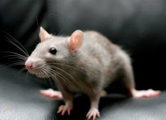 Хватит терпеть мышей в квартире и частном доме: узнаем, как избавиться от грызунов