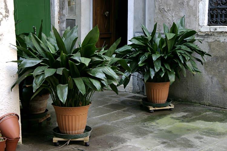 Аспидистра, или дружная семейка – его называют чугунным растением по той простой причине, что ему всё равно, в каких условиях расти. Кстати, это растение совершенно безопасно для детей