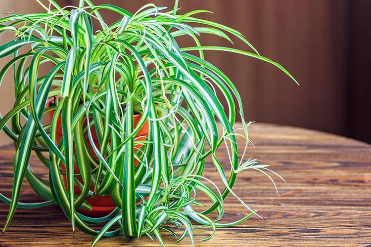 В полутени будет неплохо расти хлорофитум. Он не только украсит стену, но и поможет вам в очищении воздуха