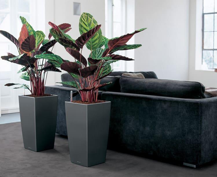 Калатея привлекательна за счёт своей роскошной листвы с ярким узором прожилок
