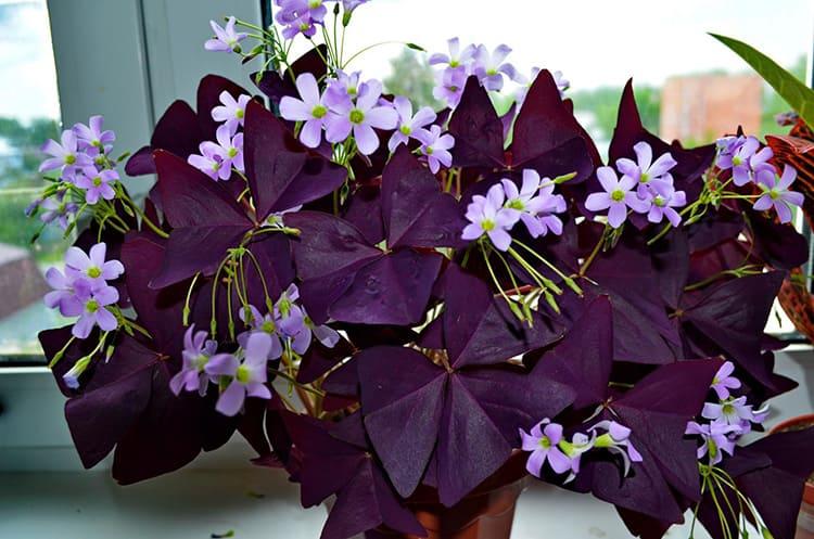 Ещё один цветок, который любит подвигаться – оксалис. Он складывает свою листву на ночь. Поэтому в народе его называют «доброе утро»