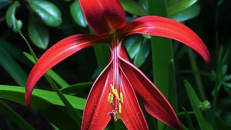 Спрекелия – её яркие алые цветы напоминают орхидею и выглядят просто потрясающе