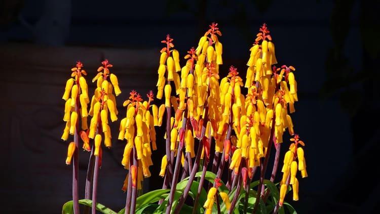 Лашеналия – двоюродная сестра гиацинта, которая цветет в любое время года очень необычными цветами