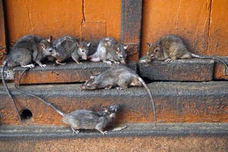 Маленькие хитрюганы легко попадают в дома через крохотные щели.