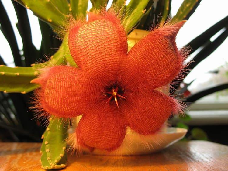 Стапелия – яркие пушистые соцветия производят неповторимое впечатление не только своим видом, но и ужасным запахом, задача которого – привлечь насекомых