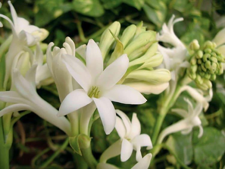 Туберозу, напротив, можно использовать для ароматизации помещения. У неё очень приятный тонкий запах, который часто встречается в парфюмерных композициях