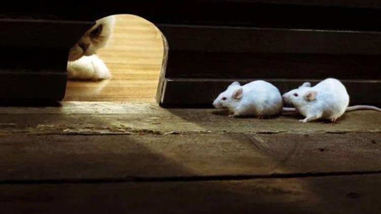 Кошка способна терпеливо дожидаться мышиного появления.