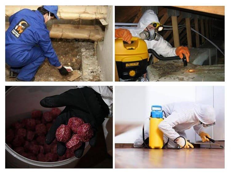 Рабочие уничтожают грызунов с помощью сильнодействующих химикатов.