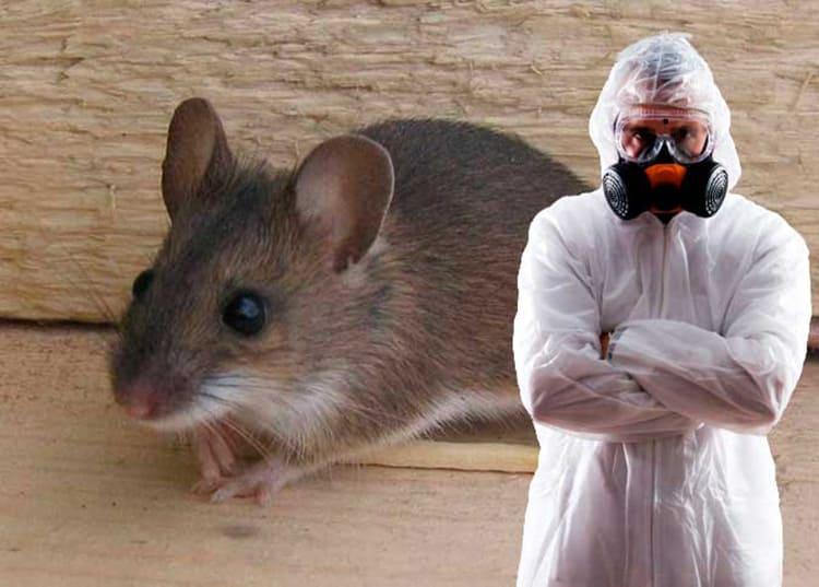 Оружие дератизационных специалистов может быть представлено отравой, вредными для грызунов бактериями или это физический отлов животных с помощью ловушек.