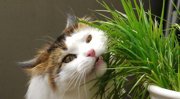 Если не хотите любоваться на обглоданные побеги, не покупайте такие растения, а для кошки посадите в доступном для нее месте кошачью мяту, пшеницу и петрушку