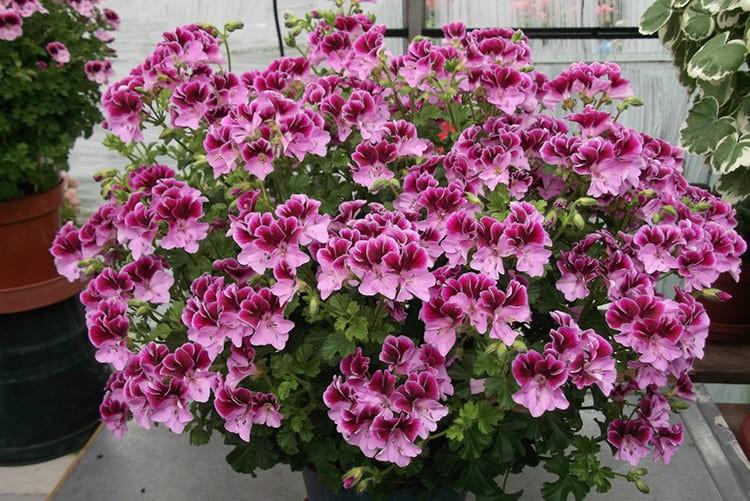 Герань считают довольно примитивным цветком, и напрасно: сейчас выведено множество новых сортов с потрясающе красивыми соцветиями