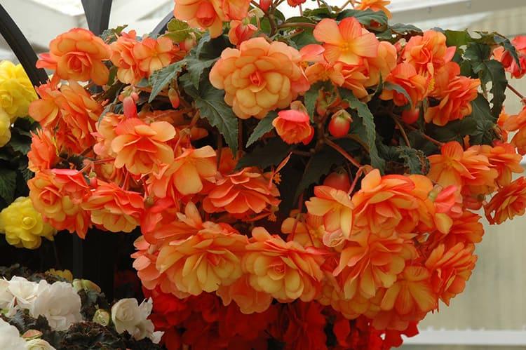 Бегония при правильном уходе цветёт несколько месяцев подряд, она станет настоящим украшением интерьера