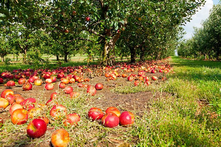 Для большого количества яблок требуется подходящая соковыжималка