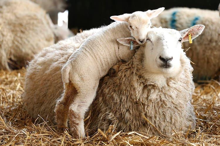 Животных периодически остригают, а шерсть сортируют и тщательно обрабатывают для дальнейшей эксплуатации